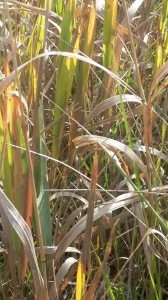 Variegated Prairie Grass